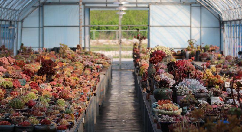 多肉植物、韓国苗が美しい理由、韓国の農家さんに聞いてみた