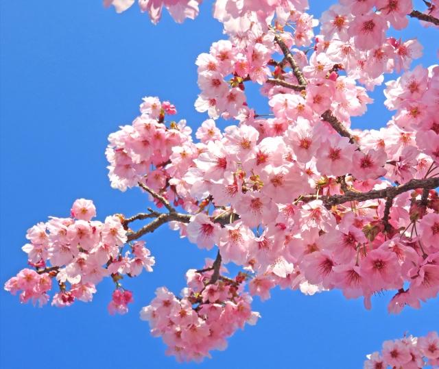 【桜の花粉】桜の花粉症ってあるの?桜の花粉について知ろう!