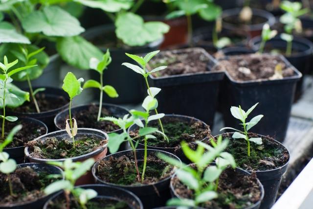 【家庭菜園】植えたばかりの野菜苗がすぐ枯れる・・|失敗する原因はコレかも!