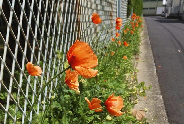 ポピーみたいな雑草|ナガミヒナゲシってどんな植物?