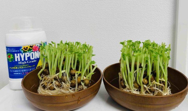【再生栽培】豆苗に液肥を与えたら収穫量は増える?|実験してみた!