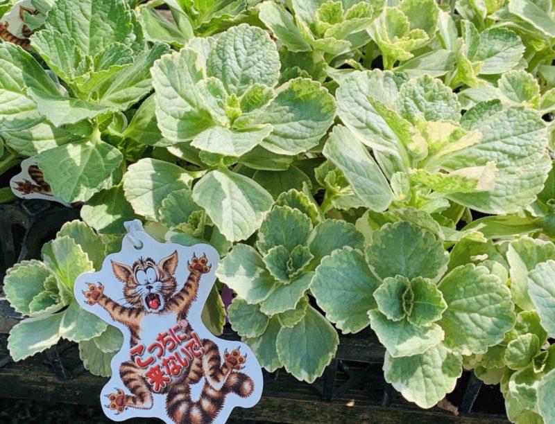 犬、猫よけに便利な植物!|コリウス     カニナハイブリットってどんな植物?